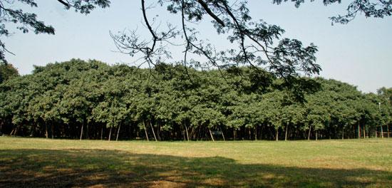 جنگل انجیر هندی